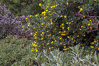 Dendromecon harfordii 'Gold Cup'- Channel Island Tree Poppy- California native shrub with yellow flowers in mixed border garden with Ceanothus, Eriogonum, and salvia