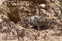 0609-1013  Desert Tortoise Retreating into Burrow to Escape Heat (Mojave Desert), Gopherus agassizii  © David Kuhn/Dwight Kuhn Photography