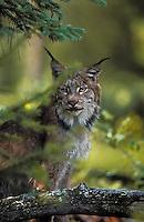 Lynx. Autumn. North America. Felis lynx canadensis.