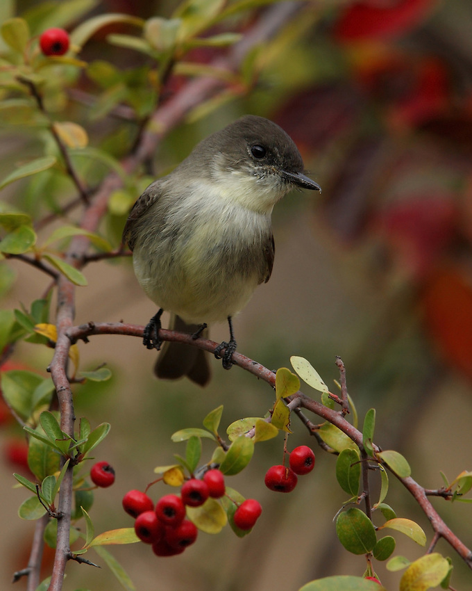 Eastern Phoebe with fall colors/setting.