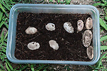 Wood turtle eggs excavated from nest. 6 are viable, 4 to the right are dead.