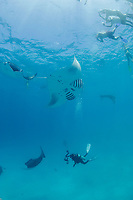 diver and snorkelers gather around reef manta rays, Mobula alfredi, feeding on plankton, Hanifaru Bay, Hanifaru Lagoon, Baa Atoll, Maldives, Indian Ocean