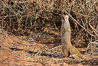 We've only seen the yellow mongoose when we visit the Kalahari.<br /> <br /> Photo © Jennifer Waugh