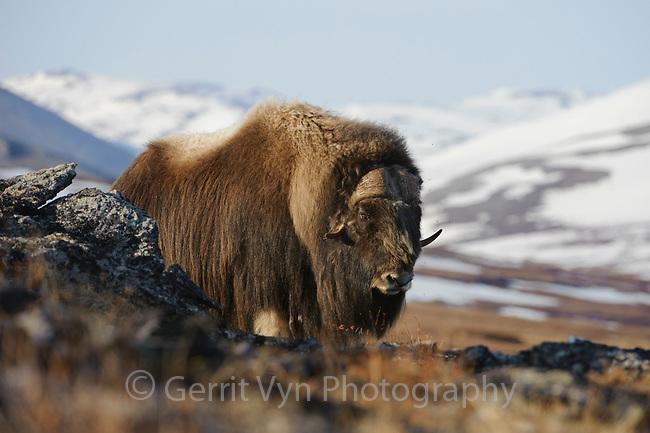 Old bull Muskox (Ovibos moschatus). Seward Peninsula, Alaska. May.