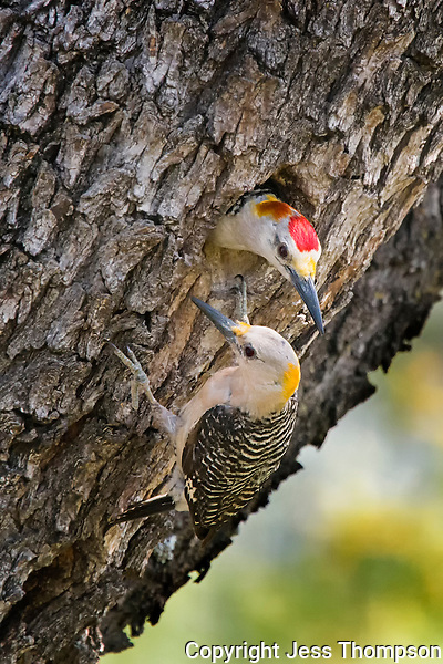 Golden-fronted Woodpecker Couple, San Angelo State Park, Texas
