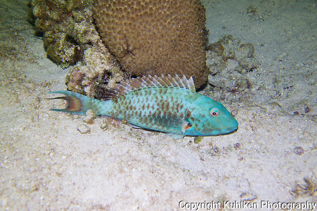 Parrotfish at night (color change), Cozumel, Mexico 2015