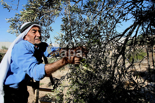A Palestinian farmer sorts olives at an olive orchard at Beit Awa town west of the West Bank city of Hebron, 21 October 2013. Regional farmers are harvesting their olives this year from mid-October until 01 November. According to figures issued by the United Nations some 80,000 Palestinian families earn their income from growing olives in plantations which reportedly occupy about 48 per cent of the agricultural land in the West Bank and Gaza strip. About 93 per cent of the olive harvest pressed to oil with the rest being used in soap production. Photo by Mamoun Wazwaz