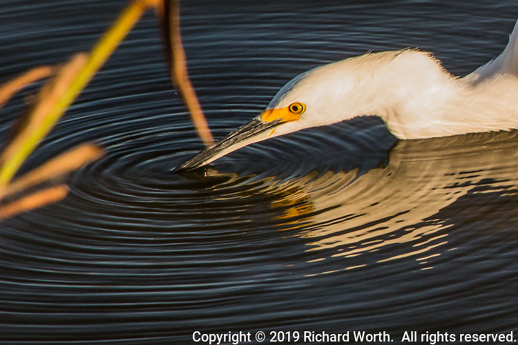 While feeding, a Snowy egret tapped the surface sending out ripples in ever widening circles.