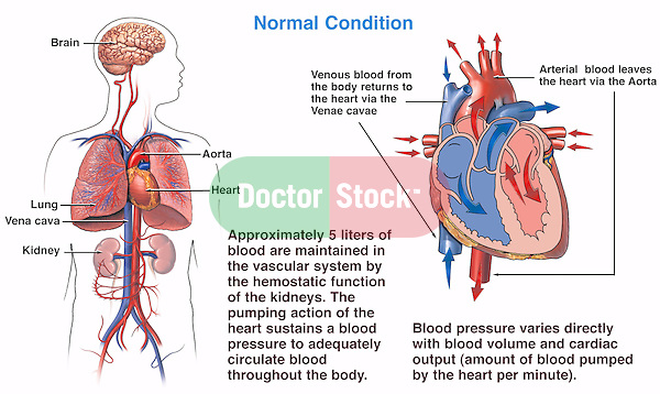 This exhibit depicts normal blood pressure homeostasis as maintained by the normal physiology of the body. This exhibit works as a standalone, or in conjunction with another exhibit in this series depicting the mechanism of death from hypovolemic (low blood volume) shock due to massive hemorrhage (blood loss).
