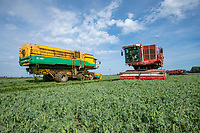 Pea vining - Lincolnshire, August