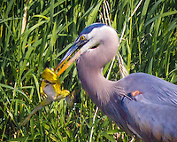 A great blue heron (Ardea herodias) has an America Bullfrog (Rana catesbeiana) in his beak as the frog appears to be dancing in the air before he became the Heron's meal in a pond at the Ridgefield National Wildlife Refuge.