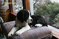 SH25-597z English Springer Spaniel puppy