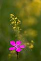 Maiden Pink (Dianthus deltoides) Peak District National Park, Derbyshire, UK. July.