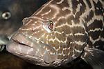 Black Grouper 45 degrees to camera close-up