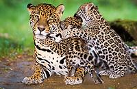 jaguar, Panthera onca, adult, female, mother, cubs, playing