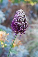 Allium sphaerocephalon, Round-headed leak or drumstick allium flowering in Yanker-Hansen garden