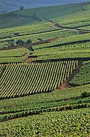 Europe/France/Champagne-Ardenne/51/Marne/Cumières: le vignoble champenois de la vallée de la Marne