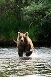 A grizzly bear, Ursus arctos horribilis, runs across the river in Alaska.