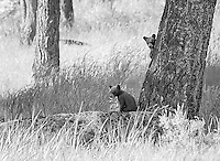 My favorite subject to photograph during the spring of 2015 was this black bear family.  The black sow and two little cinnamon cubs put on quite a show.<br /> <br /> This image is also available in color.