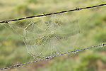 Brazoria County, Damon, Texas; early morning dew on a spider web strung between barbed wire