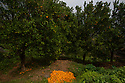 India - Sikkim - An orange field located in the jungle. Oranges have been recently introduced in Sikkim with great success.