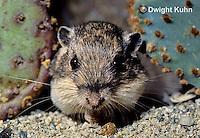 MU31-028z  Silky Pocket Mouse - Perognathus flavus