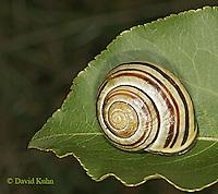 0925-06yy  Land Snail - Sephia hortensis - © David Kuhn/Dwight Kuhn Photography