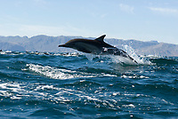 Common dolphin (delphinus delphis) Gulf of California.A common dolphin leaps out of the top of a swell., Baja California, Mexico, Pacific Ocean