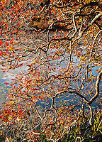 Autumn tree detail, Vermont, USA.