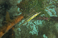 Seestichling, am Nest aus Pflanzenmaterial, See-Stichling, Meerstichling, Meer-Stichling, Spinachia spinachia, fifteen-spined sticklebackam Nest aus Pflanzenmaterial