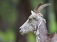 Bighorn sheep ewes sport short horns.