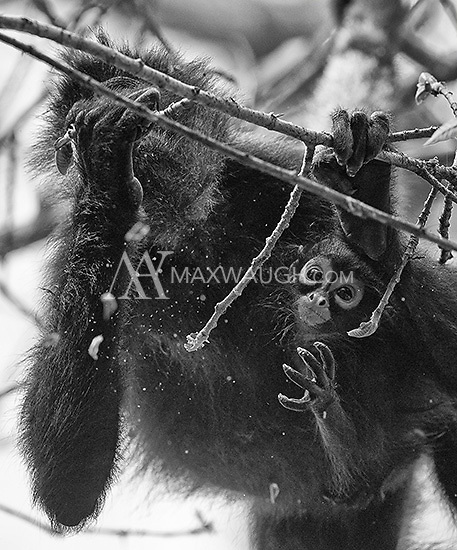 A baby spider monkey reaches out while mom eats.