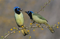 Green Jay, Cyanocorax yncas,adults fighting on blooming Huisache (Acacia farnesiana), Starr County, Rio Grande Valley, Texas, USA, March 2002