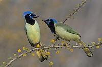 Green Jay, Cyanocorax yncas,adults fighting on blooming Huisache (Acacia farnesiana), Starr County, Rio Grande Valley, Texas, USA, March 2002