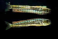 juvenile dorado, mahimahi, mahi-mahi, dolphinfish, or dolphin-fish, Coryphaena hippurus, about 10 cm (4 inches) long, with reflection on undersurface of water, Kona Coast, Big Island, Hawaii, USA, Pacific Ocean (c, de)