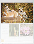 Nelson Kenter photo of three pronghorn antelope used in a magazine photo issue
