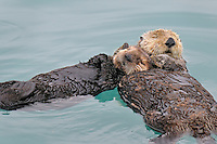 Alaskan or Northern Sea Otter (Enhydra lutris) mother and pup sleeping/resting.