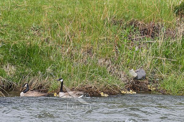 Canada geese family (Branta canadensis).  Western U.S., spring.
