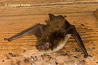 MA20-608z  Little Brown Bats, Myotis lucifugus
