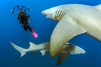lemon shark, Negaprion brevirostris, and underwater photographer, Jupiter, Florida, USA, Atlantic Ocean