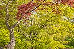 Japanese maples at the Arnold Arboretum in the Jamaica Plain neighborhood, Boston, Massachusetts, USA