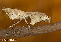 1110-0807  Malaysian Dead Leaf Mantis, Deroplatys lobata © David Kuhn/Dwight Kuhn Photography.
