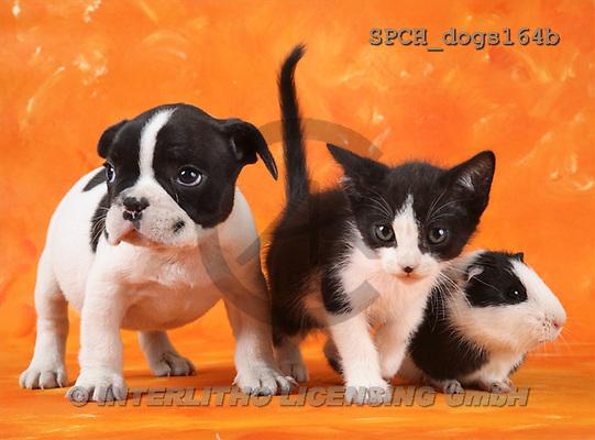 Xavier, ANIMALS, dogs, photos(SPCHdogs164b,#A#) Hunde, perros