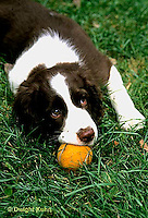 SH22-016z  Dog - English Springer puppy