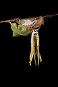 Indian Moon Moth / Indian Luna Moth {Actias selen} emerging from cocoon.  Captive. Sequence 20 of 24. website