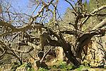 T-130 Mulberry tree in Ein Nekofa