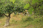 Israel, Jerusalem mountains, a fig tree in Ein Khod