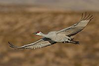 Sandhill Crane at Bosque del Apache NWR, New Mexico.