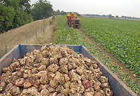Harvesting Chorus sugar beet on W. J. Leach and Sons' Church Farm, Cotheridge, Worcestershire. The four loads sent in to the Allscott factory near Shrewsbury, Shropshire, have averaged 20% sugar with one of the loads containing no dirt at all.