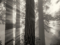 Redwood trees in Lady Bird Johnson Grove. Redwood National and State Parks, California